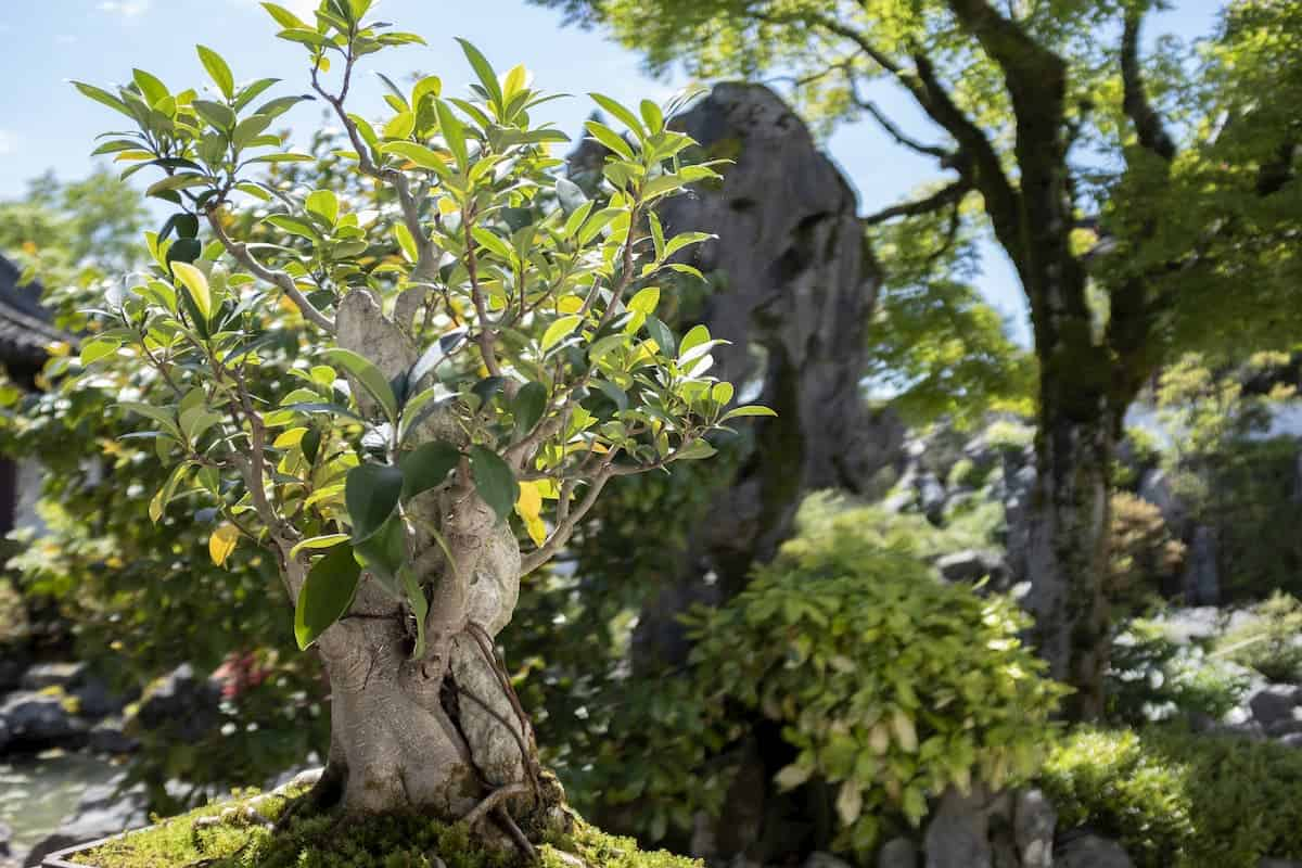 Bonsai tree over 100 years old at the Sun Yat Sen classical garden - post about Do Bonsai Trees Need a Lots of Sunlight
