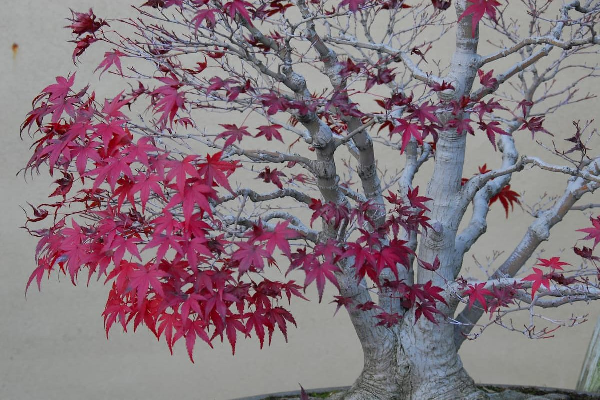 Detail of a bonsai red maple tree