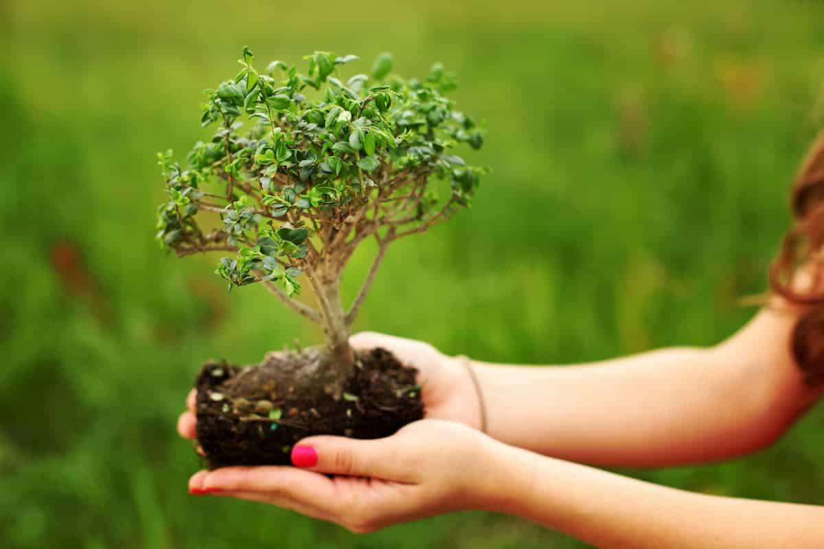 Holding Bonsai by the Soil in hand without pot for a transfer