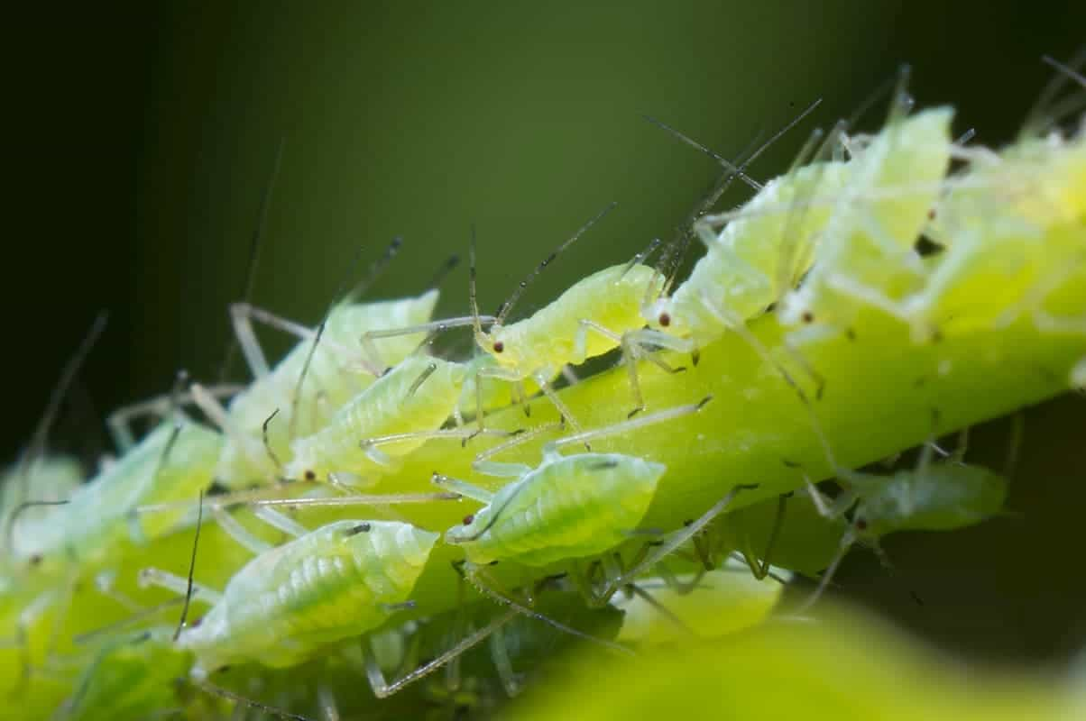 Infestation of Aphids