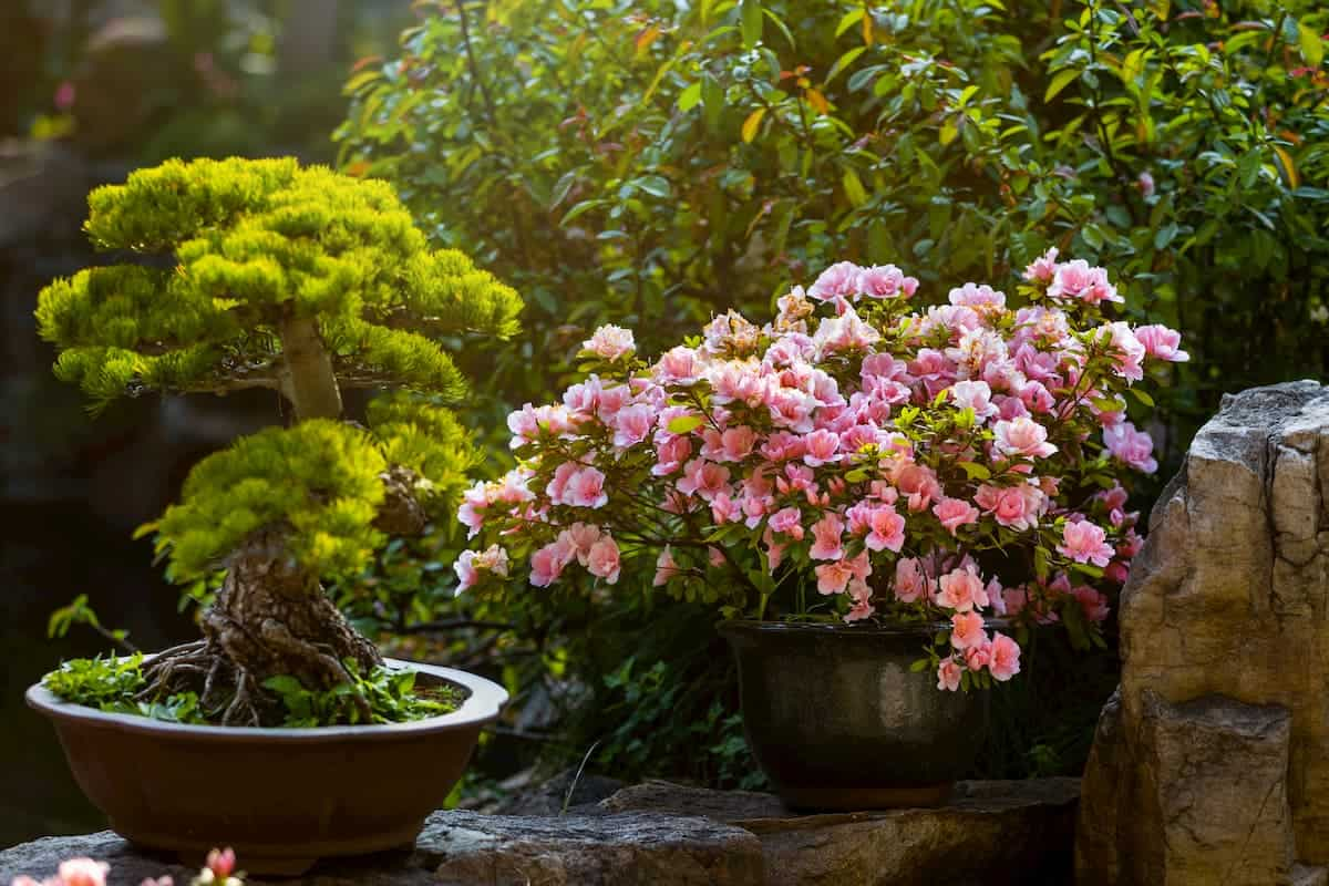 Chinese-style garden corner. Pine bonsai and camellia in a pots in the sunlight. Flowering camellia bush. Small decorative plants. A sample of landscape art in China. Chinese gardening and landscaping